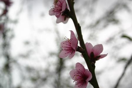 ApricotBlossoms